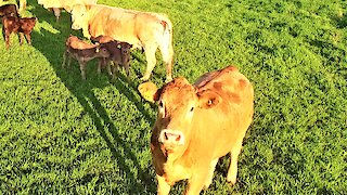 Curious cow fascinated by low flying drone in her meadow