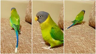 Sassy parrot struts his stuff and whistles for the camera
