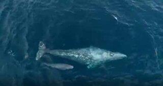 Raro momento baleia-cinzenta e filhote são filmados na Califórnia