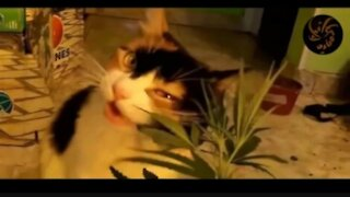 What happen when cat eats marijuana