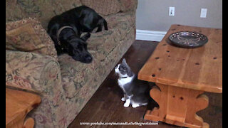 Golden Retriever And Cat Share Their Sofa With Visiting Great Dane