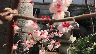 Sakura flowers in Japan. Beautyful ♥
