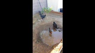 Chickens chillin