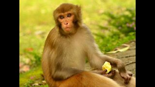 Watch the monkey eating the apple