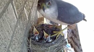 The scary moment a hawk steals two baby birds from their nest