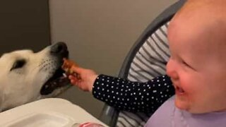 Baby can't stop laughing while hand feeding dog