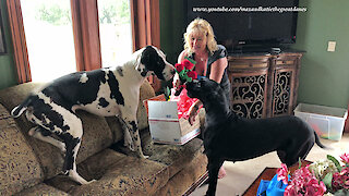 Great Danes Enjoy Opening Happy 3rd Birthday Gifts