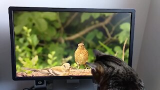 Kitty attempts to hunt birds on TV screen