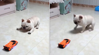 dog playing with car