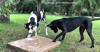 Funny Great Danes Ignore Newspaper and Try Carry Big Box