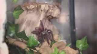 Ikke se denne videoen om du er redd for edderkopper!