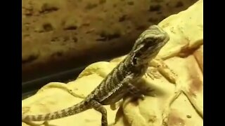 Baby Bearded Dragons and baby crickets