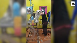 DISMAYED DOG LOOKS OVER AT OWNER AFTER BEING TAKEN TO GROOMERS