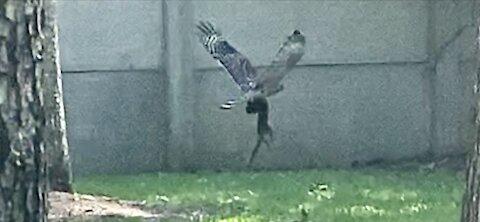 Hawk sighting and the circle of life.
