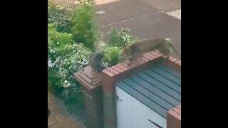 Fox tries to befriend cat, immediately gets denied