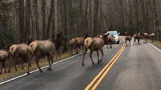 Huge herd of elk create traffic jam in North Carolina