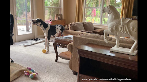 Howling Great Dane Complains His Dinner Is Late