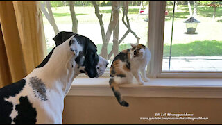 Funny Great Dane Interrupts Humming Cat's Calico Birdwatching