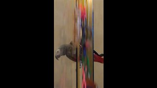 Thrill-seeking parrot slides down the shower door