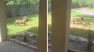 High-energy baby donkey can't stop running around the yard