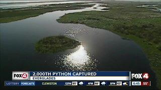 2,000th Python captured in Everglades