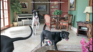 Great Danes Have Fun Sharing Toys With Their Dog Friends