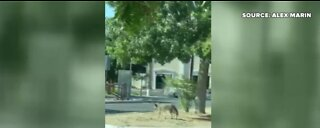 Coyote at Sunset Park in Las Vegas