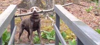 Dog Thinks Through A Problem watch till end
