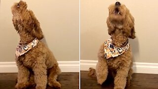 Puppy challenges owner to adorable howling contest