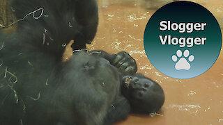 Baby Gorilla Indigo Plays With Gorilla Liesel