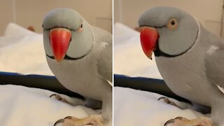 Smart parrot loves to play peek-a-boo with his owner