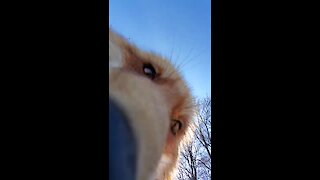 Fox steals camera and tries to bury it