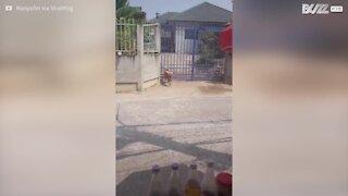 Pour rentrer chez lui, ce chien a sa technique!