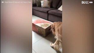 Golden Retrievers bebés recebem as piores boas vindas do cão mais velho