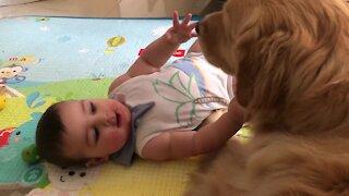 Gentle Golden Retriever preciously entertains little baby