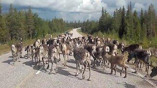 Massive Reindeer Herd Block Traffic In Finland