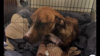 Rescued dog Miracle recovering
