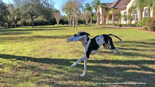 Zooming Great Dane can't wait to deliver package