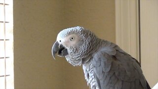 Talking parrot sees people walking outside, calls them squirrels