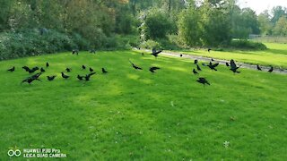 Lovely crows happy