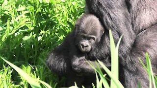 Proud gorilla mom shows off her baby born in lockdown
