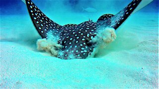 Beautiful spotted eagle stingray has fascinating way of finding food