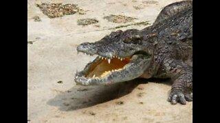 Australia: l'impressionante attacco dell'alligatore