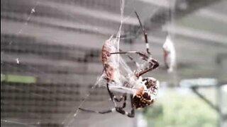 Ragno intrappola un insetto e lo arrotola nella sua tela