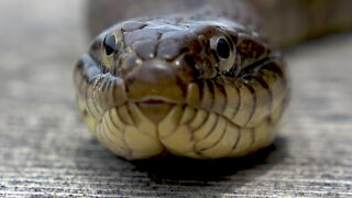 Giant watersnake claims family dock as his sunbathing spot