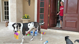 Great Dane gets distracted while delivering toilet paper groceries