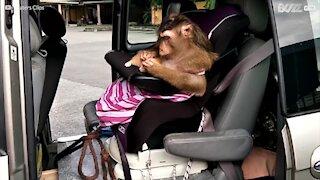 Ce singe cherche les puces d'un chaton