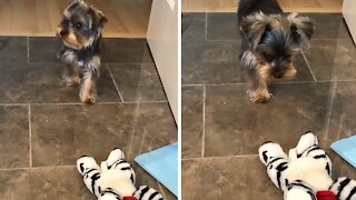 Yorkie puppy adorably stalks and attacks stuffed animal