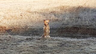 Curious red dog