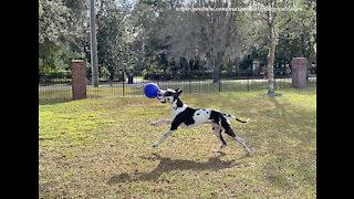 Galloping Great Dane Grabs His Ball And Runs Racing Zoomies